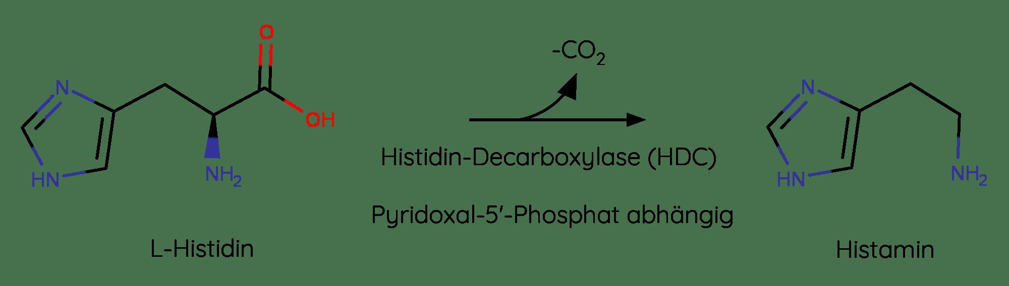 Umwandlung von der Aminosäure zu Histamin über die Pyridoxal-5'-Phosphat abhängige Histidindecarboxylase