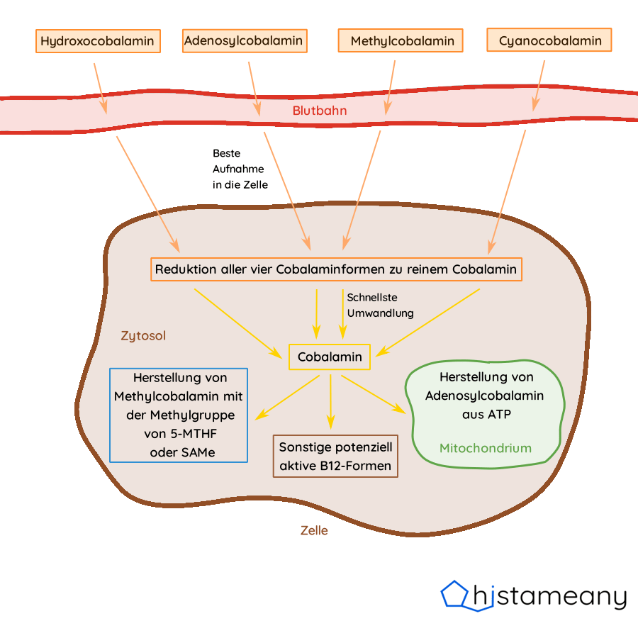 Aufnahme und Umwandlung der vier Vitamin B12 Formen Adenosylcobalamin, Methylcobalamin, Hydroxocobalamin und Cyanocobalamin in Zellen